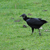 Black Vulture (Coragyps atratus) Gamboa Resort, Gamboa, Panama