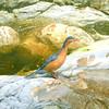 Torrent Duck (Merganetta armata) near Abra Patricia, Amazonas, Peru