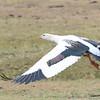 Andean Goose (Chloephaga melanoptera) Salkantay Trail, Cusco