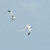 White-tailed Tropicbird (Phaethon lepturus) Areceibo Coast