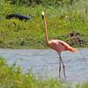 American Flamingo (Phoenicopterus ruber) Barceloneta