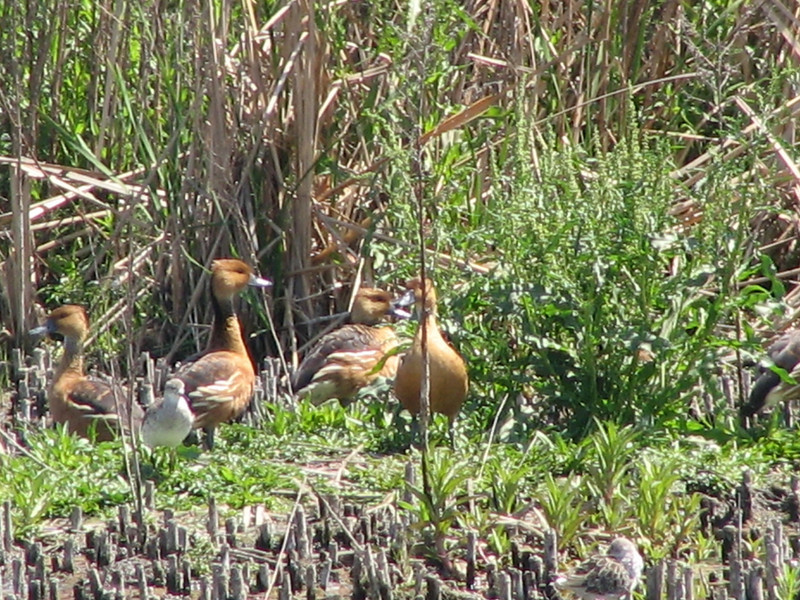 Fulvous Whistling-Duck (Dendrocygna bicolor) and Ruff (Philomachus pugnax)
