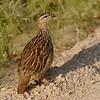 Crested Francolin (Francolinus sephaena) Kruger NP, Limpopo, South Africa