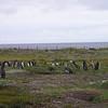 Magellanic Penguin Colony, Otway Fjord, Punta Arenas.