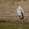 Yellow-billed Stork (Mycteria ibis) Selous Game Reserve