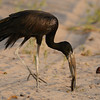 African Openbill (Anastomus lamelligerus) Selous Game Reserve