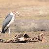 Marabou Stork (Leptoptilos crumenifer) Selous Game Reserve