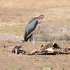 Marabou Stork (Leptoptilos crumenifer) Selous Game Reserve