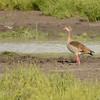 Egyptian Goose (Alopochen aegyptiaca) Selous Game Reserve
