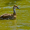 West Indian Whistling Duck (Dendrocygna arborea) Grand Cayman, Cayman Islands