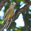 West Indian Woodpecker (Melanerpes superciliaris) Grand Cayman, Cayman Islands