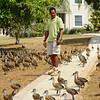 Geddes Hislop with West Indian Whistling Ducks (Dendrocygna arborea) Grand Cayman, Cayman Islands.  These are a recovering population of wild ducks using a private estate pond for roosting.  They have become habituated on the estate property only.
