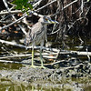 Black-crowned Night Heron (Nycticorax nycticorax) Grand Cayman, Cayman Islands
