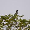 Greater Vasa-Parrot (Mascarinus vasa) Mount Karthala, Grand Comore, Comoros