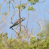 Cuckoo-Roller (Leptosomus discolor) Famboni, Moheli, Comoros
