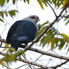 Comoro Blue-Pigeon (Alectroenas sganzini) Mount Karthala, Grand Comore, Comoros