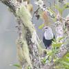 Comoro Blue-Pigeon (Alectroenas sganzini) Lake Dzialandze, Anjouan, Comoros