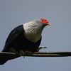 Seychelles Blue-Pigeon (Alectroenas pulcherrimus) La Mise`re, Mahe`