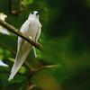 White Tern (Gygis alba) La Vev Reserve, La Digue