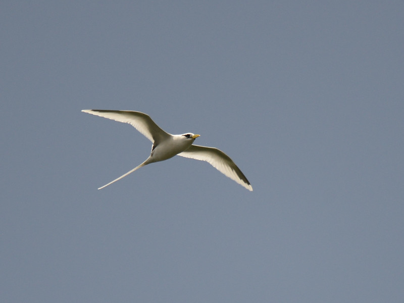 White-tailed Tropicbird (Phaethon lepturus) La Gogue Reservoir, Mahe`