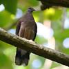 Madagascar Turtle-Dove (Streptopelia picturata) La Vev Reserve, La Digue