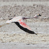 Andean Flamingo flying