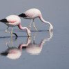 Pair of Andean Flamingos
