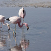 Andean and Chilean Flamingo foraging together.
