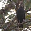 045 Mangrove Black-Hawk 1319