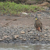 021 Bare-throated Tiger-Heron 0390