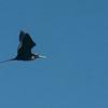 019 Magnificent Frigatebird 1069