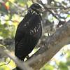 045 Great Black-Hawk 1458