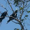 019 Magnificent Frigatebird 1131