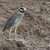 027 Yellow-crowned Night-Heron 0288