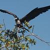 019 Magnificent Frigatebird 1134