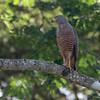 043 Roadside Hawk 1254