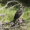 045 Great Black-Hawk 1545