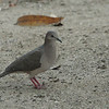 091 White-tipped Dove 1223