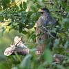 045 Mangrove Black-Hawk 1295