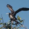 019 Magnificent Frigatebird 1135