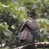 011 Crested Guan 2422