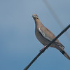 089 White-winged Dove 0789