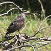 045 Great Black-Hawk 1526