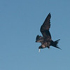019 Magnificent Frigatebird 1065