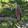 043 Roadside Hawk 1249