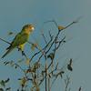 095 Orange-fronted Parakeet 0981