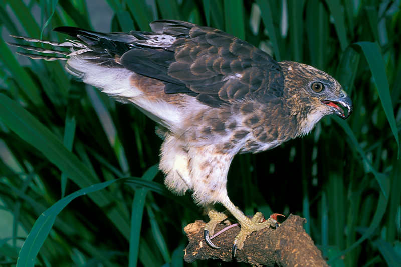 Hawaiian hawk, Buteo solitarius or 'Io, is endemic to the island of Hawaii but occurs on some of the outer Hawaiian islands as well, here it is shown with prey, Big Island of Hawaii (c)