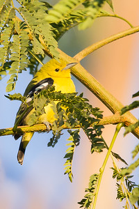 Common Iora - Male - Ambazari garden, Nagpur, India