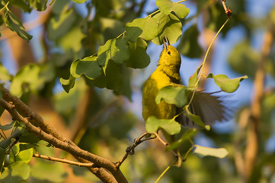 Common Iora - Female - Ambazari garden, Nagpur, India