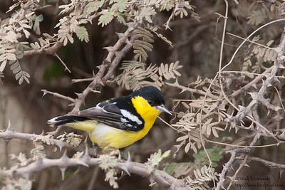 Marshall's / White-tailed Iora - Kutch, Gujrat, India
